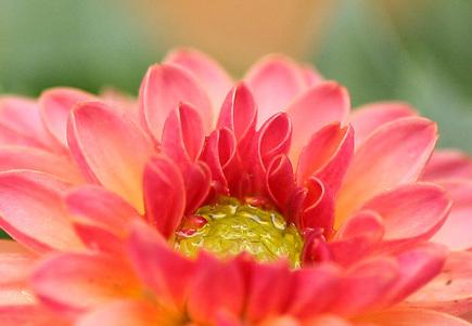 ダリアの花びら