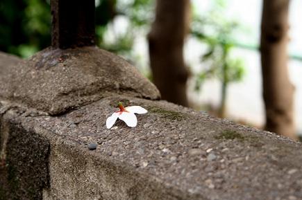 東郷公園の桜が花ごともげてる状態